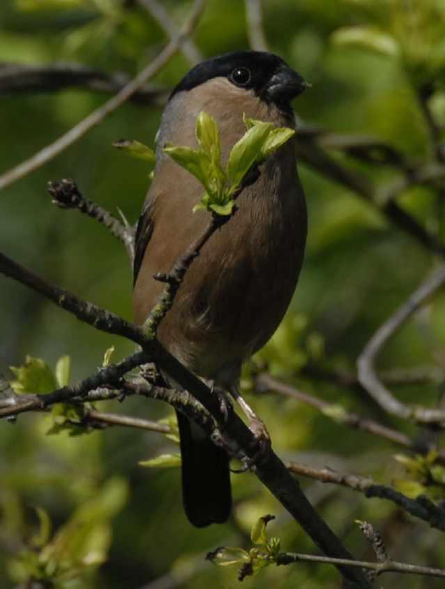 2. British Bullfinch Phyrrula p.pileata female,25052007,Oostvoorne, The Netherlands