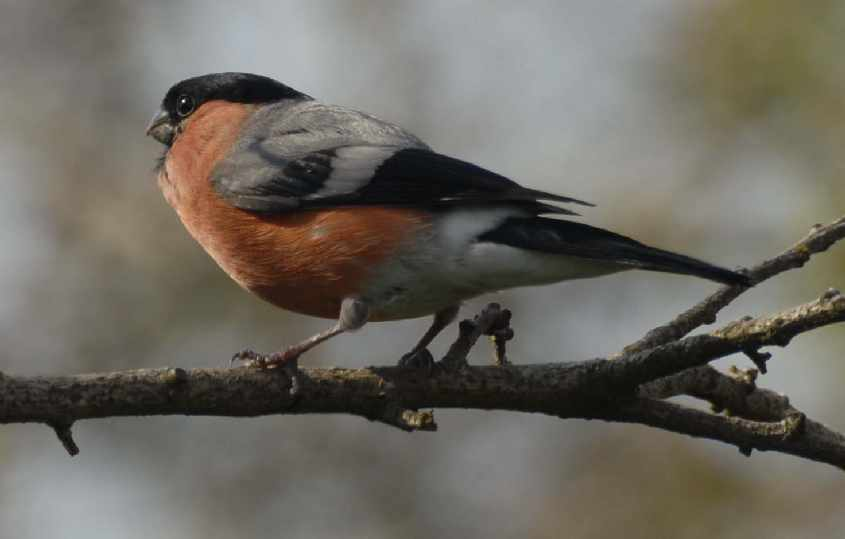 4. British Bullfinch Phyrrula p.pileata male,25052007, Oostvoorne, The Netherlands