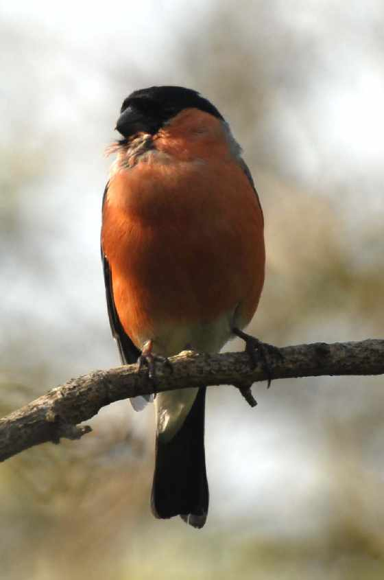 5. British Bullfinch Phyrrula p.pileata male,25052007, Oostvoorne, The Netherlands