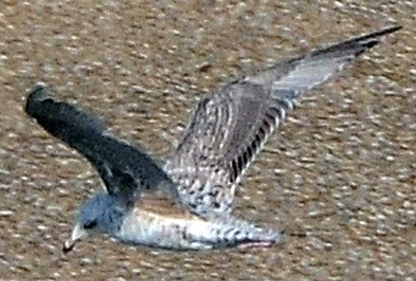 California Gull Larus californicus 2CY 26072012 Stellendam, The Netherlands c Norman Deans van Swelm
