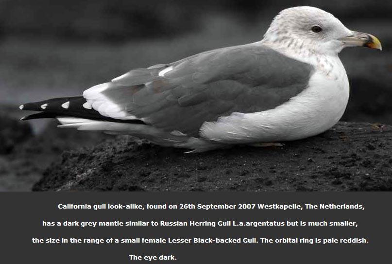 california gull larus californicus look-alike